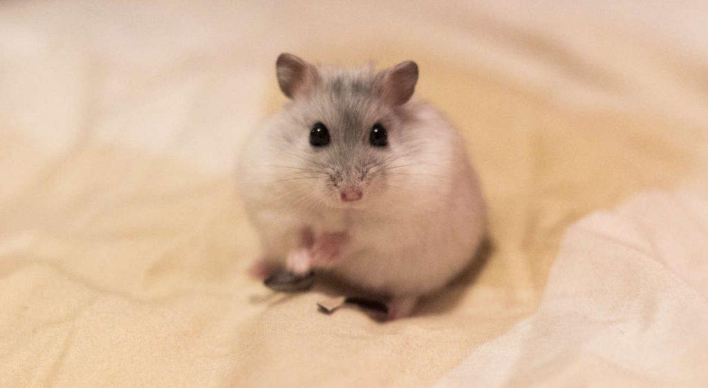 Hamster Spekkie